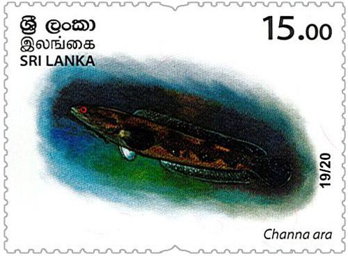 Wild species threatened by trade in Sri Lanka - 2020 - 19/20 (Channa ara)
